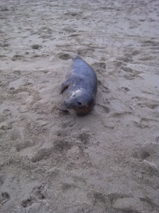 seal at Mogg's Eye Jan 10 2013